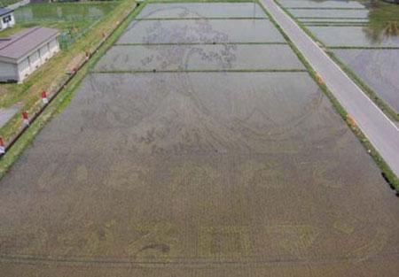 germogliazione riso