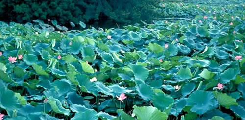fiori di loto ritsurin