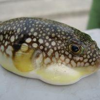 Fugu: un pesce delizioso ma letale