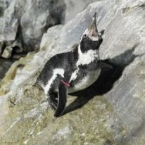 Giappone: Pinguino in fuga!